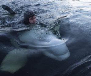 Встреча с белухами: узнай всё о резиденции зубатых китов в Белом море